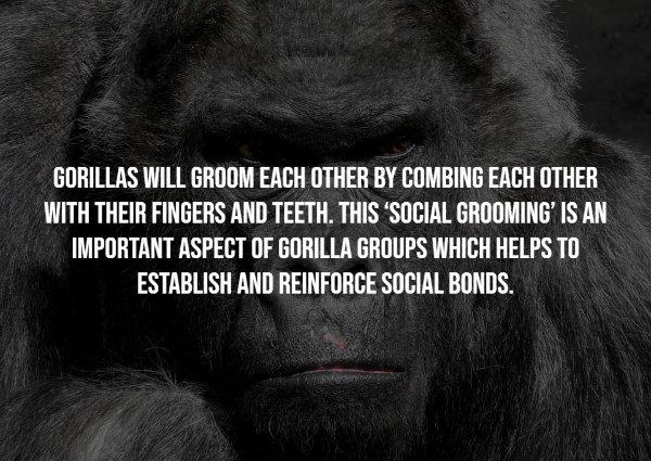 Gorillas Facts (17 pics)
