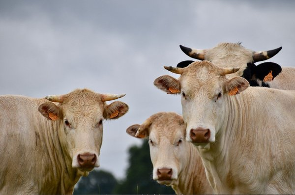 Facts About Cows (11 pics)