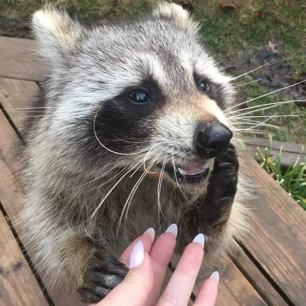 Raccoon Keeps Returning Back To The Family That Once Saved Him (19 pics)
