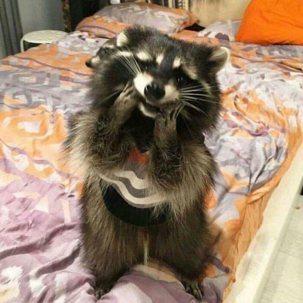 Funny Raccoons (31 pics)