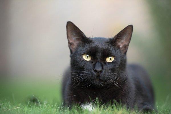 Black Cat Facts (10 pics)