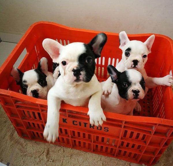 Cute Bulldogs (28 pics)