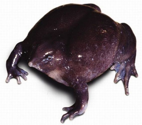 One of the rarest frogs in the world (12 pics + video)