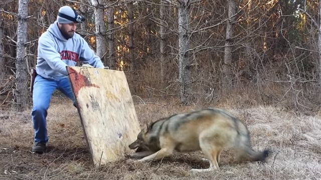 Dangerous Wolf Release Caught On Tape