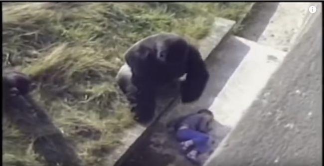 Child Falls Into Gorilla Exhibit, What Happens Next Will Surprise You