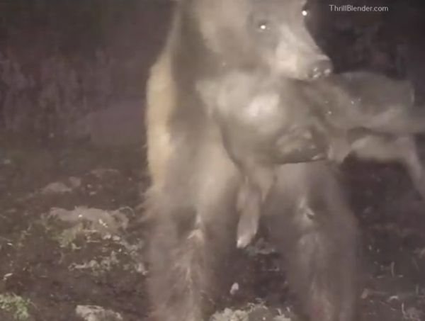 Make Sure You Turn Your Volume Down. Black Bear Attacks Wild Pig