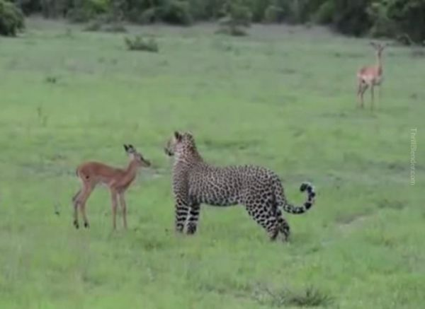 Footage Captures Leopard Toying With Baby Deer Before Slaughter!