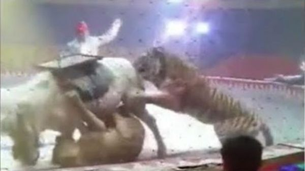 Horse Attacked By Circus Lion!