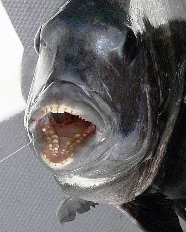 Sheepshead Fishes Have Human-Like Teeth (21 pics)