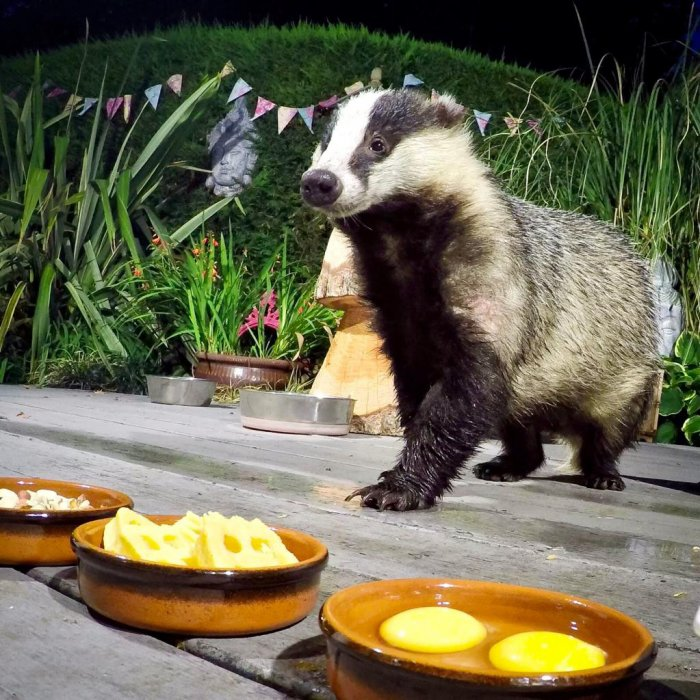 Hungry Badgers (25 pics)