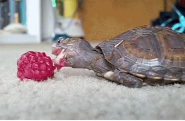 Tortoises Eating Fruit (17 GIFs)