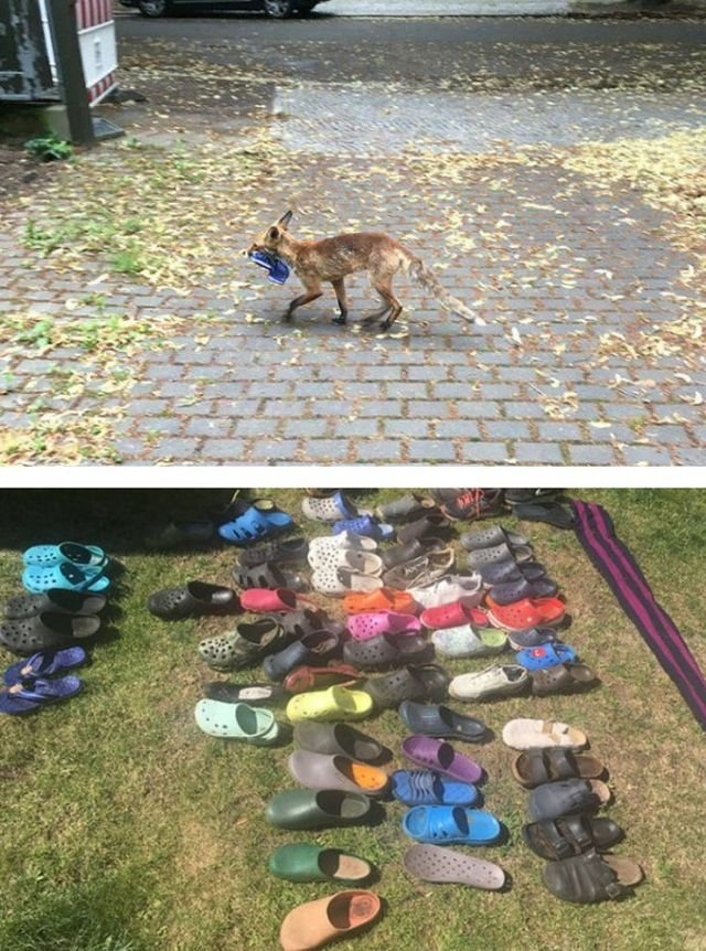 When Fox Became A Shoe Thief (17 pics)
