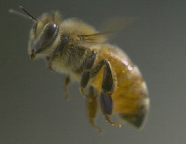 Facts About Bees (11 gifs)