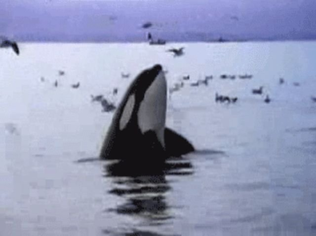 Orcas Facts (13 gifs)